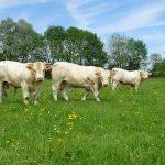 Vitrine à l'Herbe 2017: Cinq nouveaux taureaux disponibles à la vente