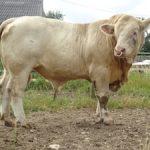 Vitrine à l'Herbe 2017: Deux nouveaux taureaux disponibles à la vente