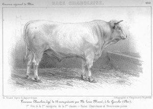 Gravure taureau
