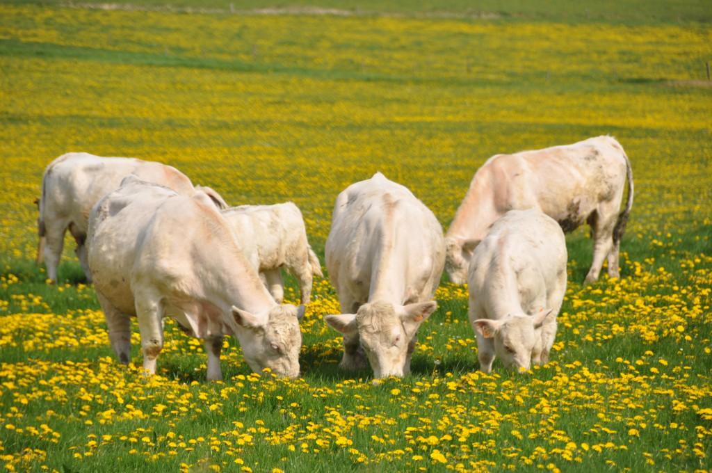 1,6 million de vaches Charolaise en france