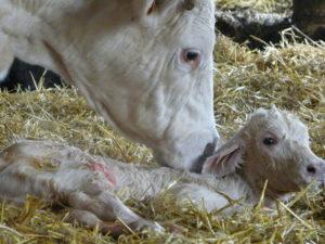 degeram, la vitalite des veaux a la naissance