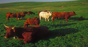 Le croisement avec un taureau Charolais, sur d'autres race, assure une augmentation de 10% du potentiel de croissance