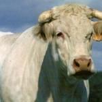 plus-value assurée avec l'utilisation d'un taureau certifié
