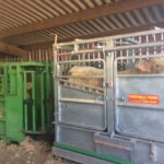 Station «taureaux à génisses» du Marault (58): 1ère pesée pour les veaux!